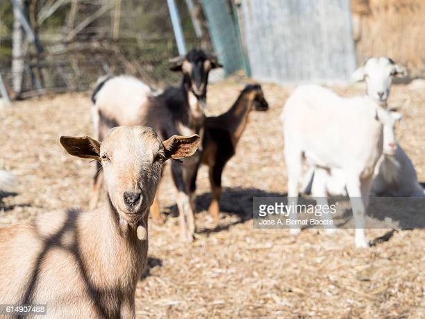 Family of dairy goats in a corral outdoors
