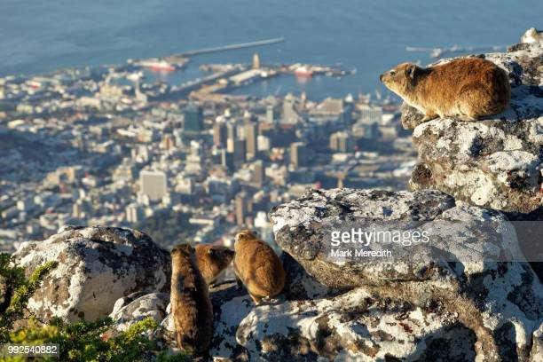 A family of dassies, or rock hyrax, on Table Mountain overlooking Cape Town