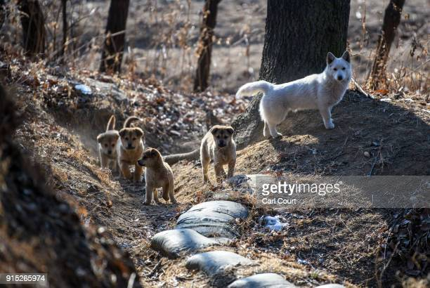 Family of dogs look on as they walk around an operational trench system overlooking the main highway leading towards North Korea, near the...