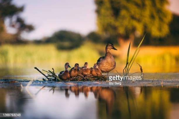 a family of ducks surrounded by water. - lake stock pictures, royalty-free photos & images