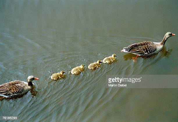 A family of ducks swimming in a line