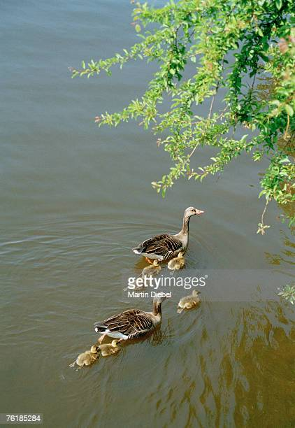 a family of ducks swimming together - canard photos et images de collection
