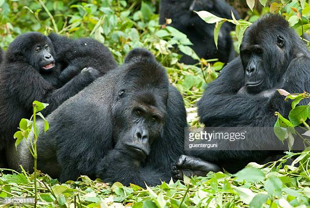A family of Eastern Lowland Gorillas in the jungles of Congo