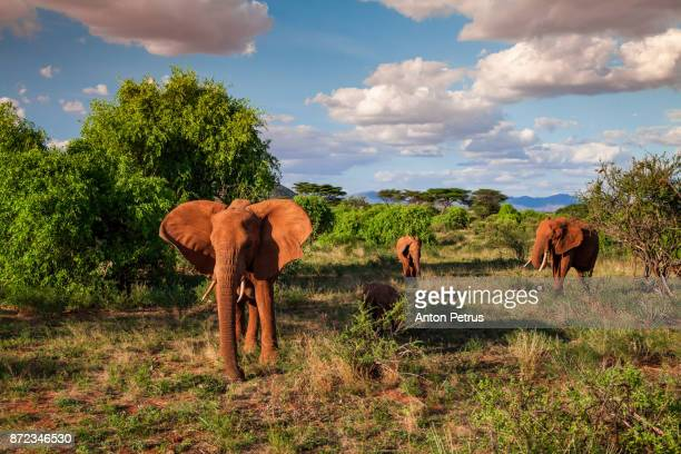 Family of elephants at sunset, Samburu, Kenya