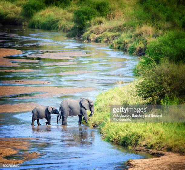 family of elephants crossing a river bed in tarangire national park, tanzania - tarangire national park stock pictures, royalty-free photos & images