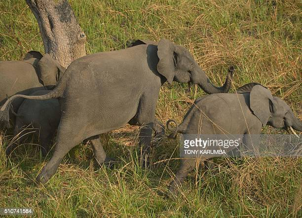 A family of elephants is pictured from a helicopter in the Garamba National Park northeastern Democratic Republic of Congo on February 7 2016 Chronic...