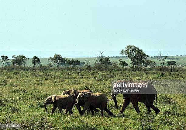 A family of elephants run off after their release in the Maasai Mara by Kenya Wildlife Services KWS wardens September 22 2011 near Narok in Kenya...