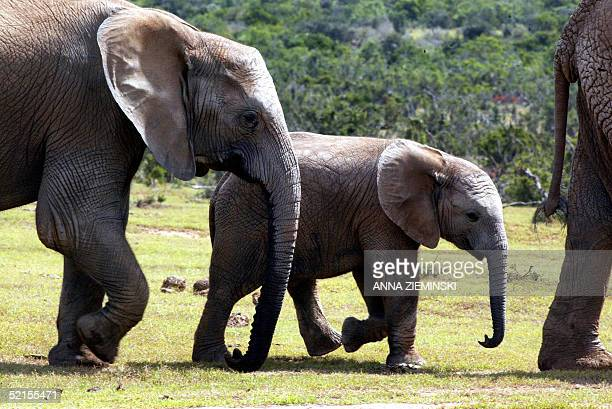 A family of elephants sets off on the trot at the Addo Elephant National Park some 50 kms outside Port Elizabeth 05 February 2005 Billed as the home...