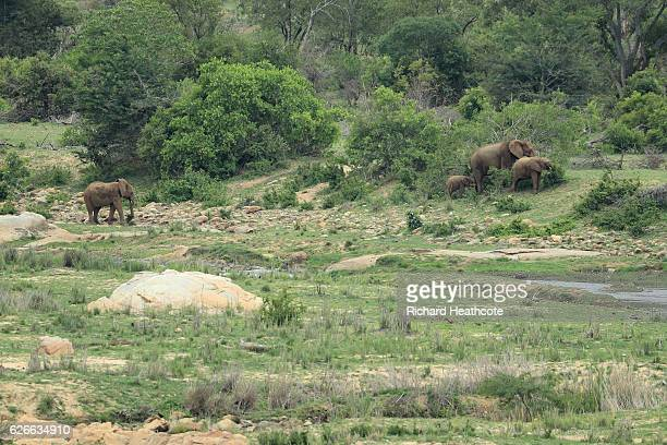 A family of Elephants walk through the Kruger National Park alongside the golf course during previews for the Alfred Dunhill Championship at Leopard...