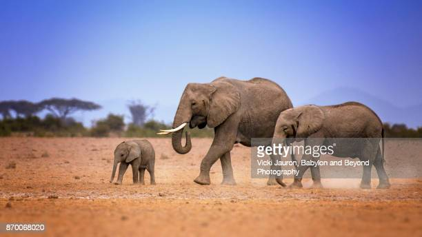A Family of Elephants Walking in Amboseli, Kenya
