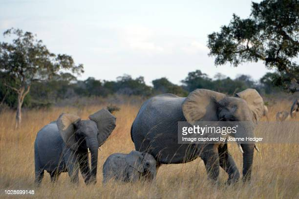 Family of elephants wandering the grasslands of the Kafue National Park, Zambia