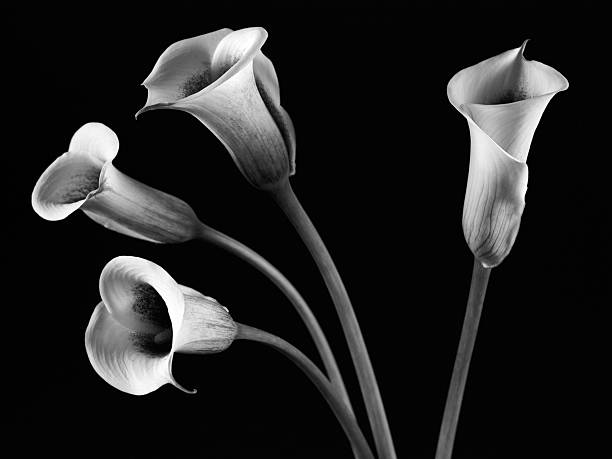A Family of Four Calla Lilies