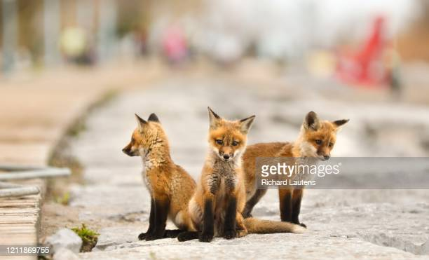 A family of foxes has taken up residence under the boardwalk at Woodbine Beach The half a dozen or so kits are seen playing around the rocks as they...