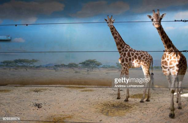 A family of giraffes feed in their indoor enclosure on February 18 2018 in the Bronx Zoo's r in the Bronx New York