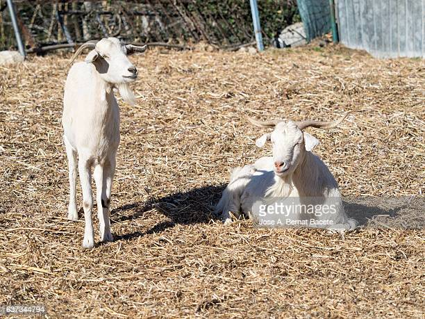Family of goats, macho and female, servants in a farm outdoors