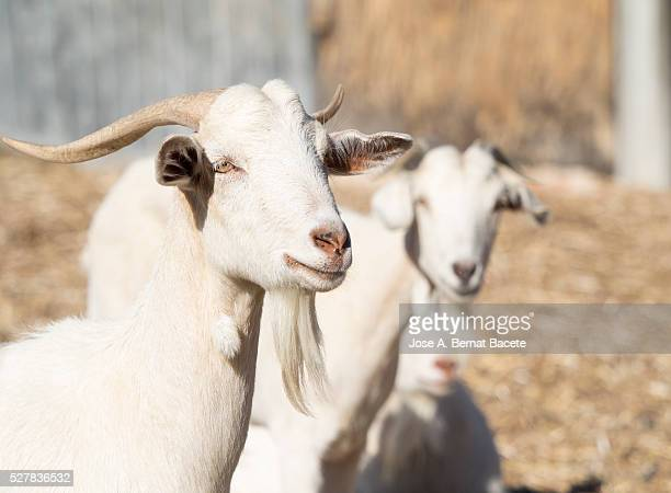 Family of goats of white color in a farm outdoors