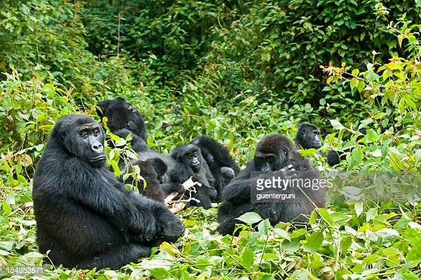 family of gorillas in the trees in the congo - gorilla stock pictures, royalty-free photos & images