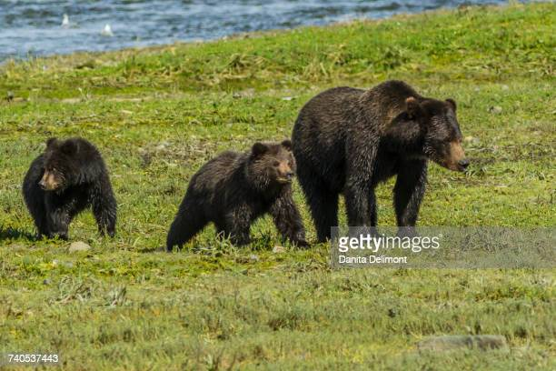 family of grizzly bears (ursus arctos ssp.) walking in field in admiralty island, tongass national forest, alaska, usa - national forest stock pictures, royalty-free photos & images