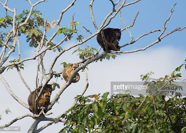 a family of howler monkeys in a tree. - alex saberi stock pictures, royalty-free photos & images