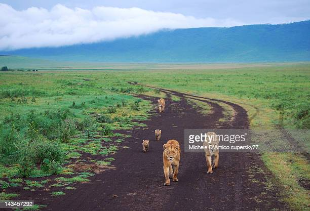 family of lions - ngorongoro conservation area stock pictures, royalty-free photos & images