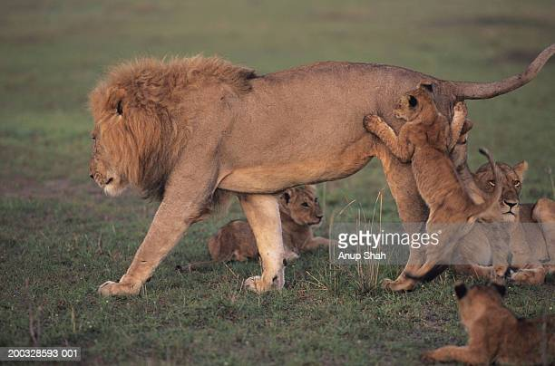 family of lions (panthera leo), relaxing on grass, kenya - 動物の雄 ストックフォトと画像