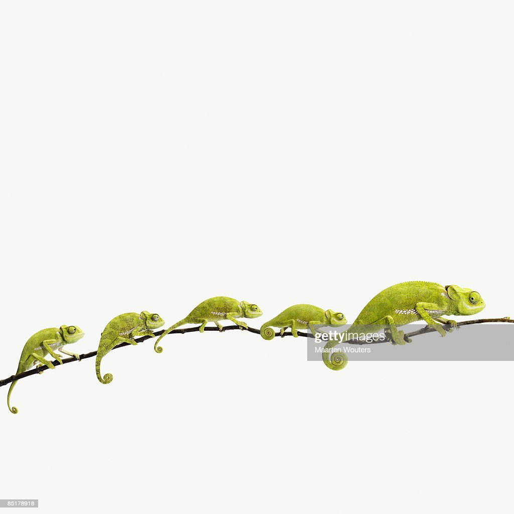 lizard, chameleon, reptile, studio, white background, green, curl, tail, line, queue, happy family
