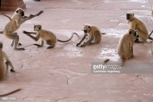 family of macaques (monkeys) play in amer fort in jaipur, rajasthan, india - argenberg stock-fotos und bilder