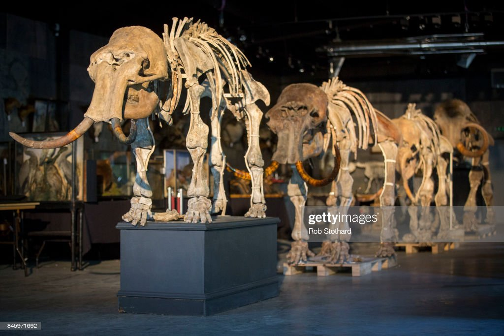 A family of mammoths is displayed at Summers Place Auctions on September 12, 2017 in Billingshurst, England. A family of four mammoths, found together during building works near the Siberian city of Tomsk in 2002, will be on sale on November 21, 2017, and is expected to sell in the region of £ 250,000 - 400,000.