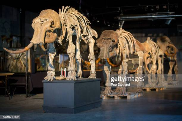 Family of mammoths is displayed at Summers Place Auctions on September 12, 2017 in Billingshurst, England. A family of four mammoths, found together...