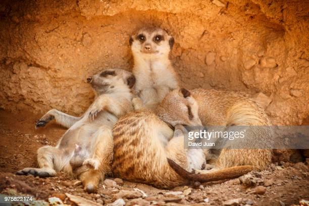 Family of meerkats (Suricata suricatta) resting in dirt hole, Valencia, Spain