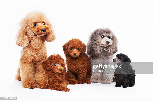 family of miniature poodle - miniature poodle stock photos and pictures