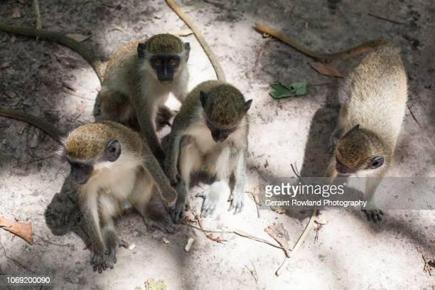 Family of Monkeys, Africa