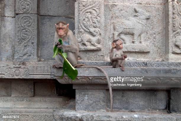 a family of monkeys (mother and child) in annamalaiyar temple, thiruvannamalai - argenberg fotografías e imágenes de stock
