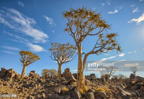 a family of quiver trees rest on their boulder laden landscape while a few wispy cirrocumulus clouds hang quietly in the blue sky above. full colour horizontal landscape image. - fossil site stock pictures, royalty-free photos & images