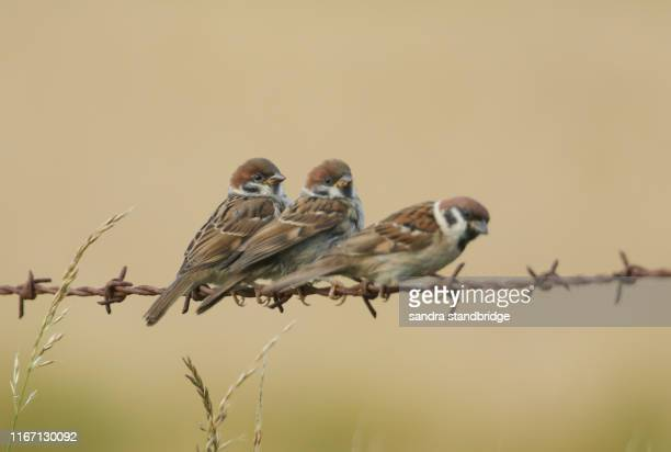 a family of rare tree sparrow, passer montanus, one adult and two babies perching on a barbed wire fence. - perching stock pictures, royalty-free photos & images