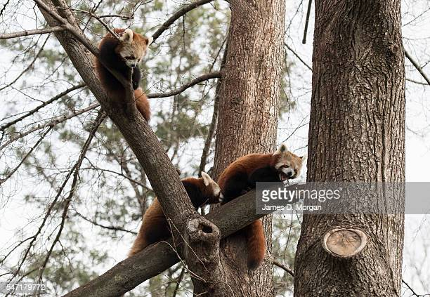 Family of red pandas sit in a tree at Melbourne Zoo on July 14, 2016 in Melbourne, Australia. Melbourne is currently experiencing a cold snap, with...
