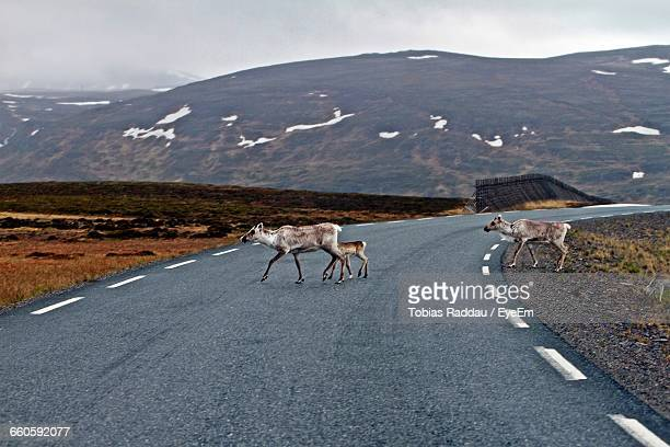 Family Of Reindeer Walking On Empty Road By Mountains During Winter
