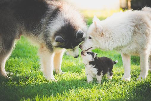 family of siberian husky dog playing on green grass 925565184