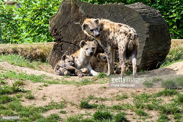 A family of Spotted hyena with two young ones is relaxing on the ground at the zoo