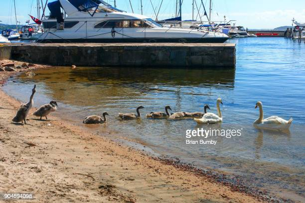 Family of swans in Kristiansand, Norway