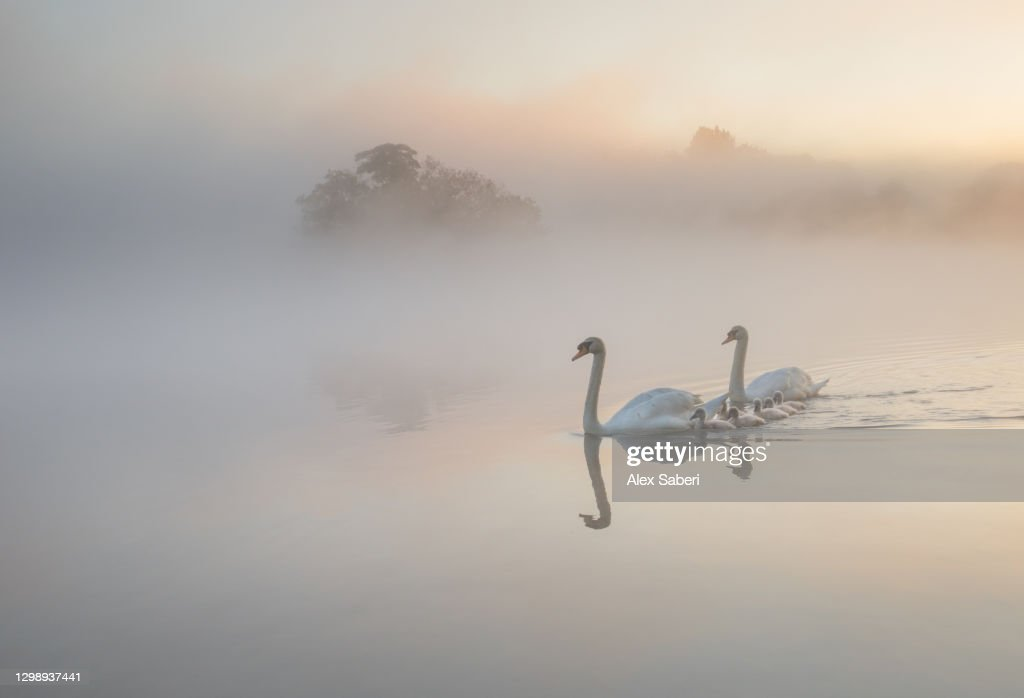A family of Swans on a misty lake. : Stock Photo