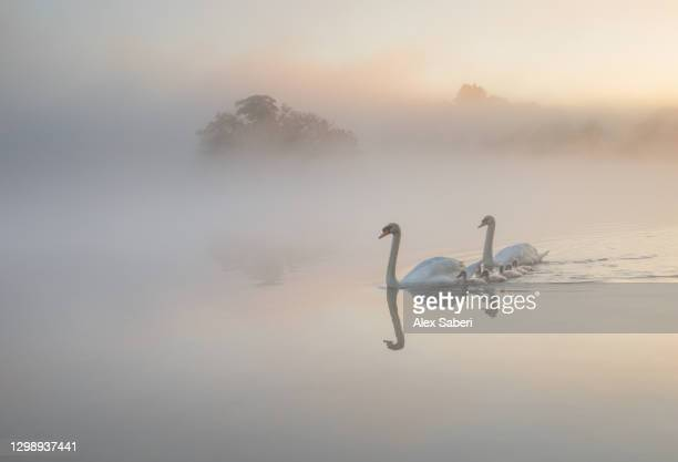 a family of swans on a misty lake. - alex saberi stock pictures, royalty-free photos & images