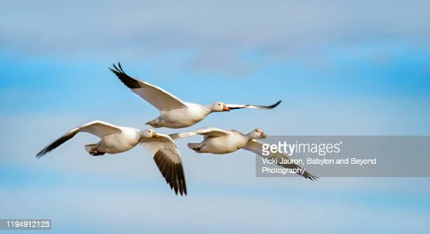 family of three snow geese in graceful flight at bosque del apache, new mexico - goose bird stock pictures, royalty-free photos & images