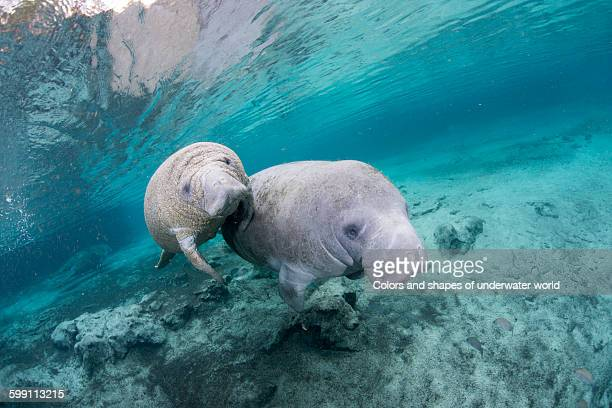 Family of West Indian Manatee
