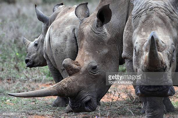 A family of WhiteRhinos is seen on August 7 2014 at the Ol Jogi rhino sanctuary in the Laikipia county approximately 300 kilometres north of the...