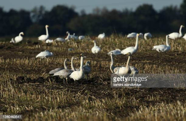 a family of whooper swans (cygnus cygnus) feeding in a field. whooper swans are mainly a winter visitor to the uk from iceland, although a couple of pairs nest in the north. - animals in the wild stock pictures, royalty-free photos & images