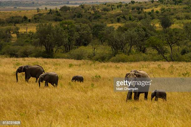 Family of wild elephants