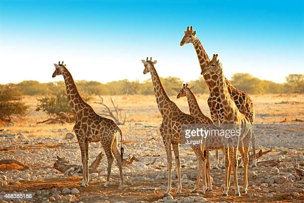 Famiglia di giraffe selvaggia in Namibia, Africa NP dell'Etosha