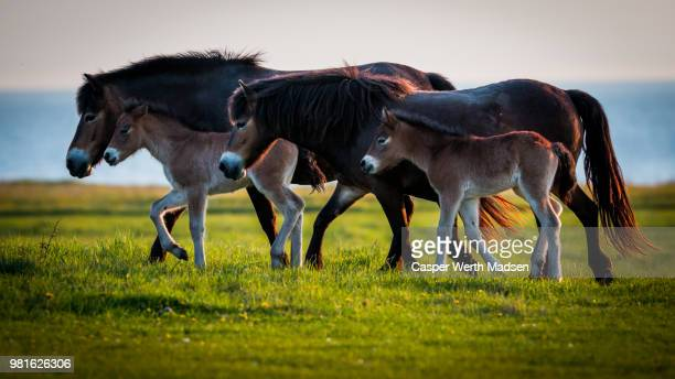 family of wild horses, exmoor, langeland, denmark - funen stock pictures, royalty-free photos & images