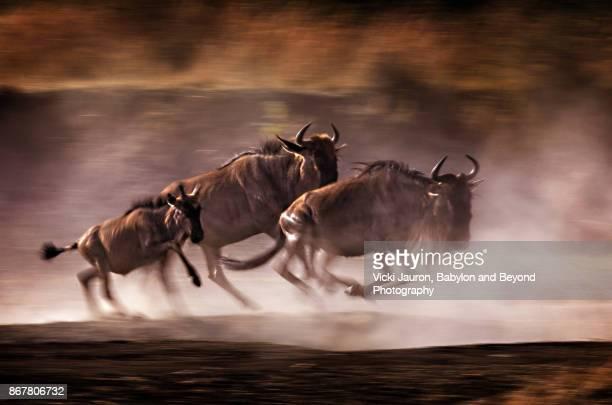 Family of Wildebeest Running in Masai Mara, Kenya